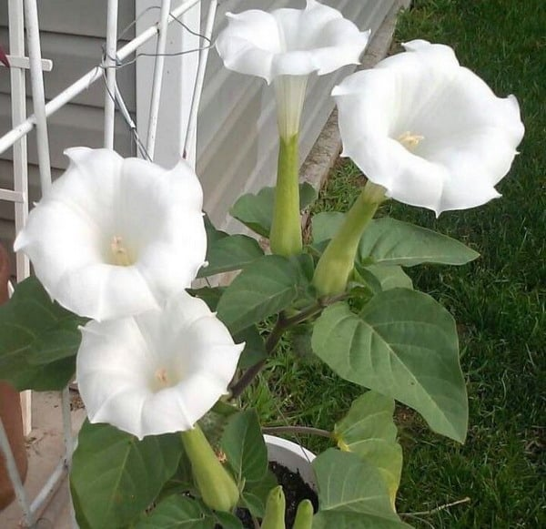 Growing Moonflowers